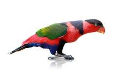 Lorikeet birds Stock Photo