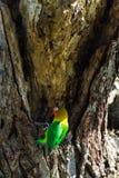 Lorikeet blisko gniazdowego Tanzania, Afryka Fotografia Royalty Free