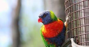 Lorikeet bonito do arco-íris empoleirado em uma cerca filme