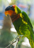 Lorikeet on a branch Royalty Free Stock Photography