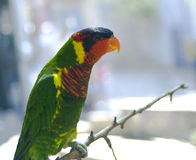 Lorikeet on a branch Stock Image