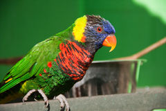 Lorikeet Royalty Free Stock Image