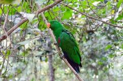Lorikeet coloré en Afrique du Sud photos stock