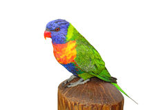 Lorikeet Stock Images