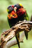 Lorikeet couple Stock Images