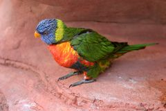 Lorikeet d'arc-en-ciel Photo stock