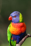Lorikeet d'arc-en-ciel Photographie stock