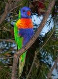 Lorikeet dall'Australia Immagine Stock