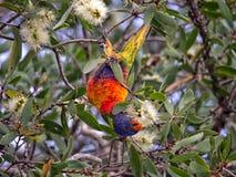 Lorikeet, das Eukalyptus-Blumen isst Stockbild