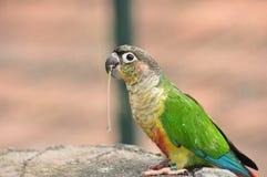 Lorikeet del arco iris Fotos de archivo