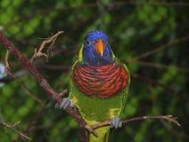 Lorikeet del arco iris Fotografía de archivo libre de regalías