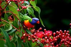 Lorikeet del arco iris Imagen de archivo libre de regalías