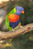 Lorikeet del arco iris en rama Imágenes de archivo libres de regalías