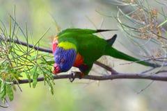 Lorikeet del arco iris que come en un árbol Foto de archivo libre de regalías