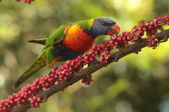 Lorikeet del Rainbow Immagine Stock