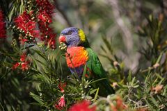 Lorikeet dell'arcobaleno ed il bottlebrush fotografia stock