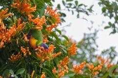 Lorikeet die de oranje bloemen van de trompetklimplant eten stock fotografie