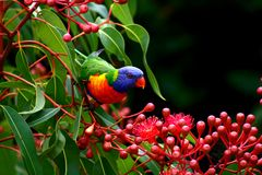 Lorikeet do arco-íris Imagem de Stock Royalty Free