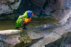 Lorikeet do arco-íris com penas molhadas foto de stock royalty free