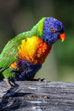 Lorikeet do arco-íris em Austrália Fotografia de Stock Royalty Free