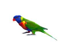 Lorikeet do arco-íris isolado no branco Imagens de Stock