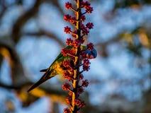 Lorikeet do arco-íris que alimenta em bagas vermelhas Fotografia de Stock