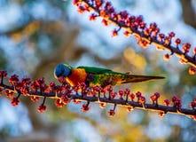 Lorikeet do arco-íris que alimenta em bagas vermelhas Fotos de Stock