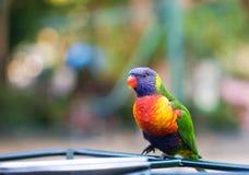 Lorikeet En härlig regnbågeLorikeet fågel med suddighetsbakgrund arkivfoton
