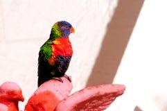 Lorikeet fågel Arkivfoto