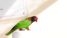 Lorikeet fågel, FL Royaltyfri Fotografi