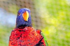 Lorikeet fågel i aviarium Royaltyfria Bilder