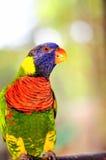 Lorikeet fågel i aviarium i Florida Arkivbild
