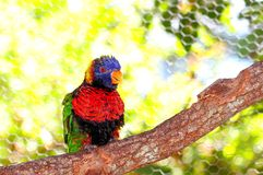 Lorikeet fågel på filial Arkivbild