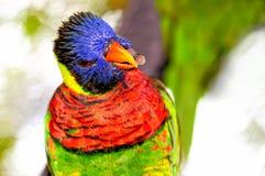 Lorikeet fågel på filial Arkivfoto