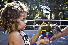 Lorikeet feeding Royalty Free Stock Photos