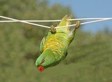 Lorikeet hanging on a cloth line. Lorikeet hanging on a cloth line on the north coast of New South Wales, Australia Stock Image