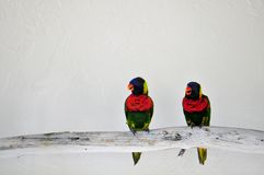 Lorikeet, Loriinae or Loriidae birds on branch Royalty Free Stock Photos