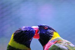 Lorikeet, Loriinae or Loriidae birds Stock Photo