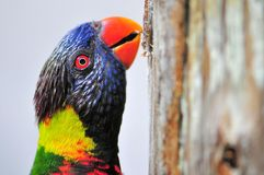 Lorikeet, Loriinae or Loriidae closeup Stock Images