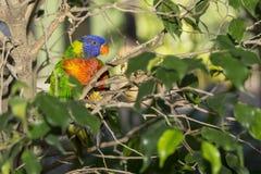 Lorikeet papegoja i skogen Arkivbilder