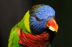 Lorikeet parrot Stock Image