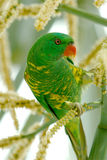 lorikeet parrot Στοκ Εικόνα