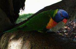 Lorikeet Parrot Stock Images