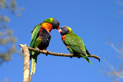 Lorikeet parrots kissing. Lorikeet parrot australia colour colourful wildlife exotic rainbow bird fly flight nectar feathers beak wings beak kissing love cuddles Stock Image