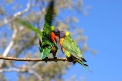 Lorikeet parrots kissing. Lorikeet parrot australia colour colourful wildlife exotic rainbow bird fly flight nectar feathers beak wings beak kissing love cuddles Stock Photos