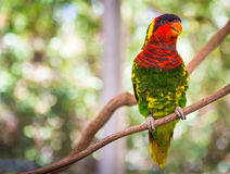 Lorikeet Royalty Free Stock Photo