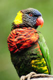Lorikeet portrait Stock Photography