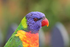 Rainbow Lorikeet portrait Stock Photography
