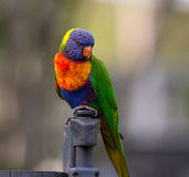 Lorikeet portrait. A lorikeet poses on a fence Stock Photo