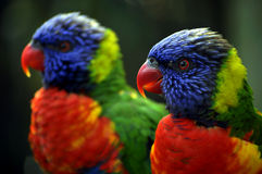 Lorikeet Profile Royalty Free Stock Images